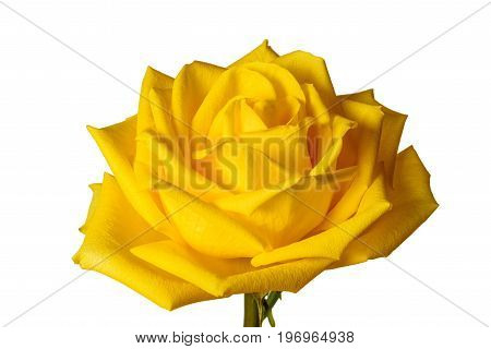 Yellow Rose Isolated On White Background Close-up.