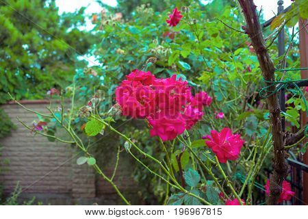 Colorful beautiful delicate rose in the garden
