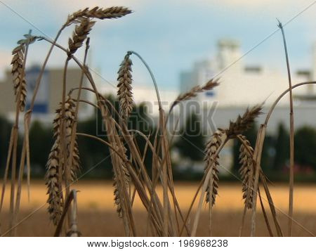 cereals growing in late summer and waiting for the harvest