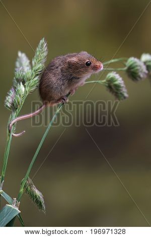 A single harvest mouse climbing up grass in an upright vertical format