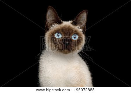 Portrait of Scyth Toy Bob, the most smallest Cat on Isolated Black Background, 8 month, siamese fur and blue eyes