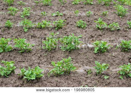 Green Field With Organic Sprouts Sitting In Beds Rainy Clouds On The Sky Green potato plants. Leaf of vegetable. Organic food agriculture in garden field or farm. Rural nature in summer.