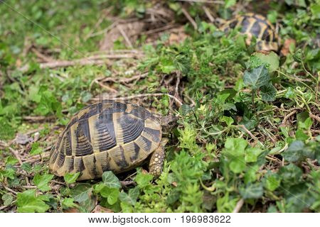 Two Terrestrial tortoises in a green  grass