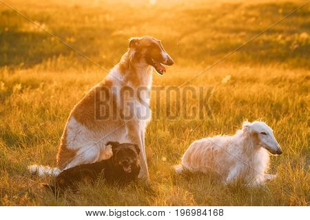 Small Size Black Mixed Breed Hunting Dog And Russian Greyhounds Borzois, Borzaya Sitting Together Outdoor In Summer Or Autumn Meadow Or Field Green Grass At Sunset Sunrise.