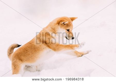 Young Japanese Small Size Shiba Inu Dog Play Outdoor In Snow, Snowdrift At Sunny Winter Day.