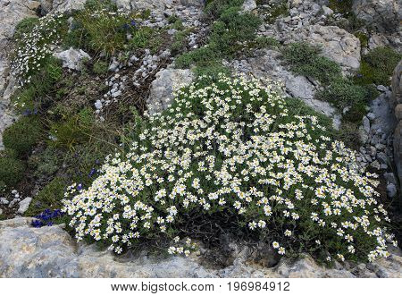 types of daisies that grow on the rocks in the mountains