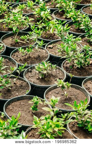 Small Green Sprouts Of Plant With Leaf, Leaves Growing From Soil In Pots In Greenhouse Or Hothouse. Spring, Concept Of New Life.