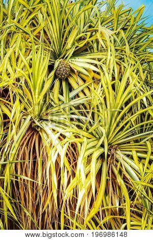 Close up of a Pandanus baptistii - Gold-striped screwpine tree - showing striped foliage and fruit.