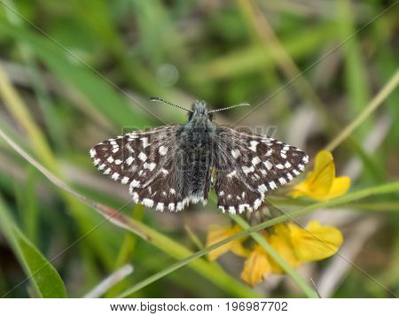 Grizzled Skipper Butterfly (pyrgus Malvae) Basking Warming Up On Chalkland Down