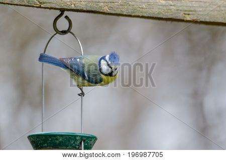 Single Blue Tit (cyanistes Caeruleus) Hanging Clinging From A Garden Bird Feeder