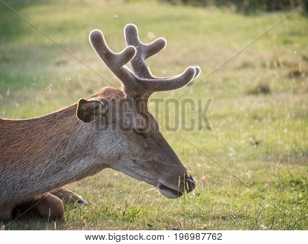 Resting Young Red Deer (cervus Elaphus) Stag Growing Velvet Antlers In Summer
