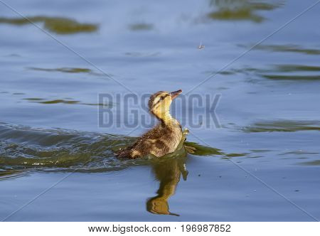 Young Cute Fluffy Baby Mallard Duckling (anas Platyrhynchos) Chasing Eating Feeding On Tasty Fly Fli
