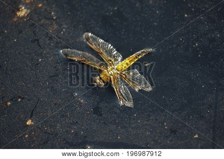 Dead Four-spotted Chaser Dragonfly Insect (libellula Quadrimaculata) Floating On Bog Stagnant Water