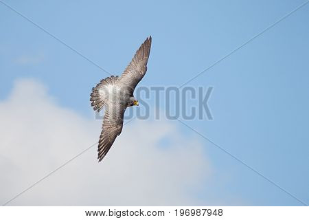 Top View Of Peregrine Falcon (falco Peregrinus) Banking Flying Against Blue Cloudy Sky