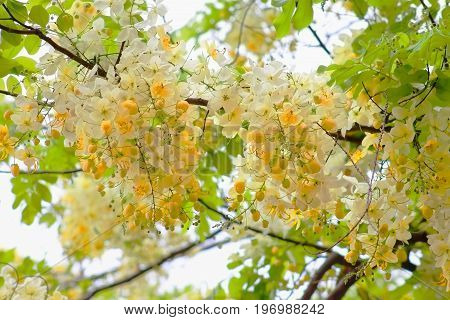 'Queen's Hospital White' variety of the Rainbow Shower Tree