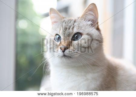 Beautiful domestic gray cat closeup portrait against blur background