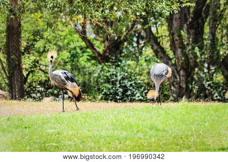 A pair of Black crowned crane (Balearica pavonina)