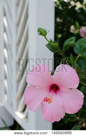 Pink Hibiscus In Front Of White Woodwork