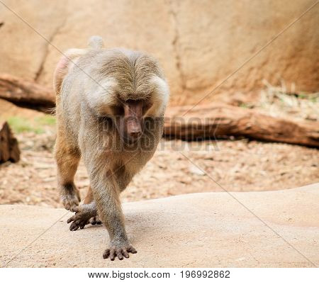 The hamadryas baboon - a species of baboon from the Old World monkey family.