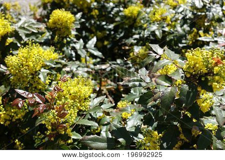 Pinnate Leaves Consisting Of Spiny Leaflets And Flowers Of Oregon Grape