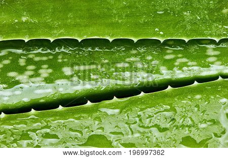 Aloe Vera.close Up Of Line Shaped Wet With Water Drops Aloe Vera Leaves. Texture. Green Background.h