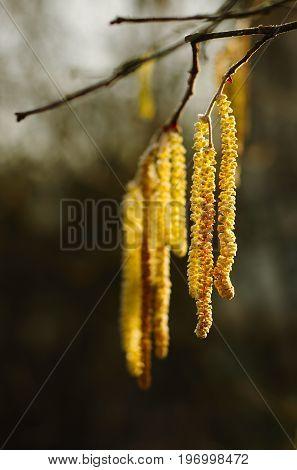 Flower of hazel tree in a warm wintry ray of sunshine