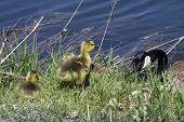 A Canada goose watching its goslings playing on shore in the grass. The Canada goose is native to North America. poster