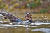 Giant river otter in the nature habitat, wild brasil, brasilian wildlife, pantanal, watter animal, very inteligent creature, fishing, fish poster