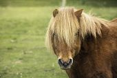 A Shetland pony looking at the camera poster
