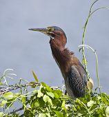 A Green Heron sits in a bush near a lake. poster