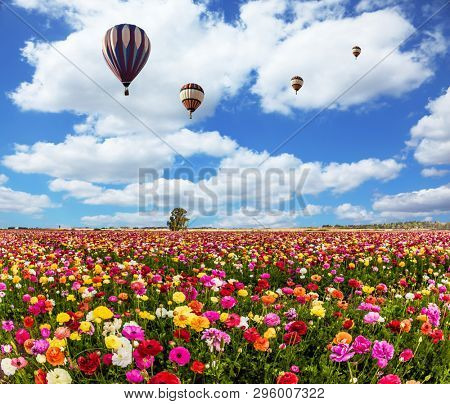 Kibbutz fields of flowering garden buttercups /ranunculus/. Two magnificent multi-colored balloons flying over flower field. Spring flowering. Concept of ecological, active; extreme and rural tourism