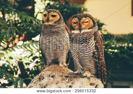 Two brown Perched Barred Owls sitting on a stone poster