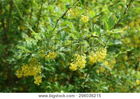 Florescence Of Common Barberry Bush In Spring