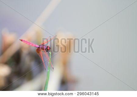 The  Red Dragonfly At Lake At Nature World