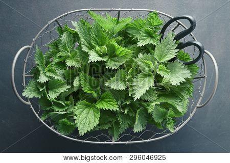 Freshly picked nettle. Basket of fresh stinging nettle leaves.