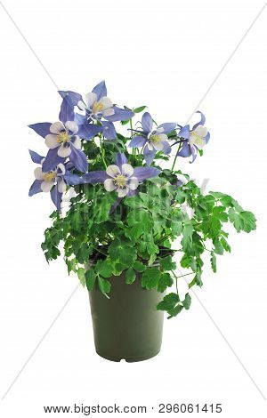 Potted Columbine, Aquilegia, Member Of The Ranunculaceae Family, Isolated Over A White Background Wi