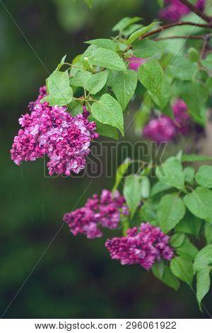 Bunch Of Violet Lilac Flower In Rainy Day