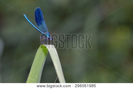 Macro Dragonfly In Forest (coleopteres Splendens), Close Up
