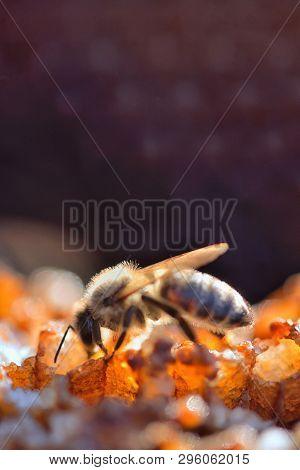 Macro Bee In A Beehive On Honeycomb