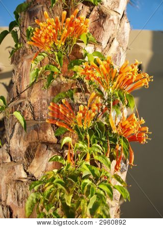 Flame Vine On Palm Tree