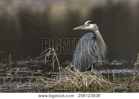 Large Great Blue Heron. A Portraiture Type Photo Of A Great Blue Heron By Hauser Lake In North Idaho