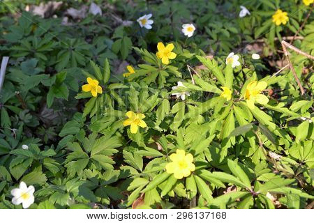 Floral Background: Wild Spring Flowers Of Yellow Anemone Ranunculoides And White Anemone Nemorosa