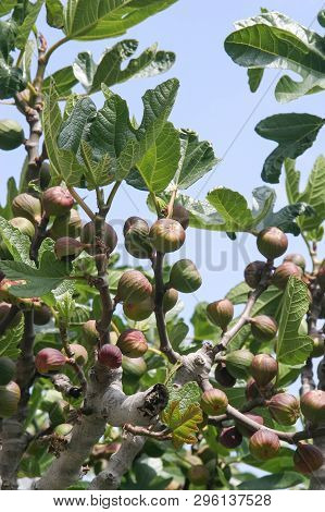 Ripening Fruits Of Figs On The Tree. Greece, Peloponnese