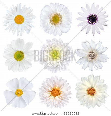 Various Selection of White Flowers Isolated on White Background. Set of Nine Daisy Gerber Marigold Osteospermum Chrysanthemum Strawflower Cornflower Dahlia Flowers poster