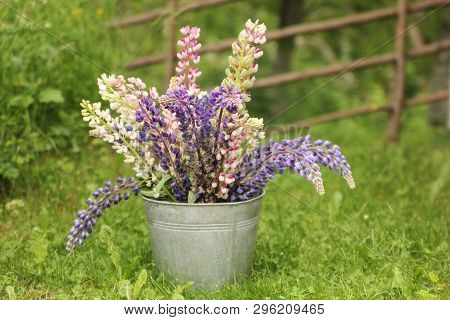 A Bouquet Of Lupines In A Zink Bucket In Summer.