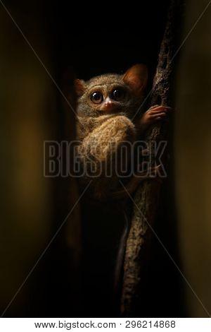 Spectral Tarsier, Tarsius Spectrum, Portrait Of Rare Endemic Nocturnal Mammals, Small Cute Primate I