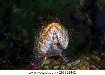 Front Close-up Of A Lizardfish On The Bottom. Anilao, Philippines