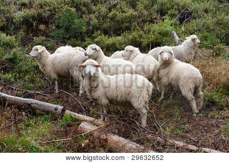 Flock Of Sheep On The Pasture