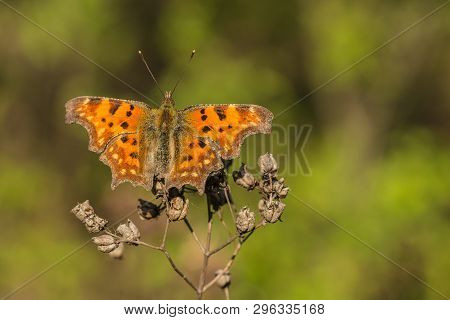 Patchy Orange Butterfly, Polygonia Album, With Open Wings, Sitting On Dry Plant, Spring Sunny Day, B