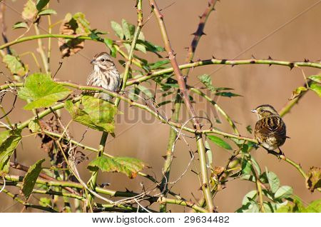 Pair of White-Crowned Sparrow Perched in Thorny Bush poster